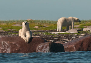 8 Tage Birds, Bears & Belugas in der Hudson Bay